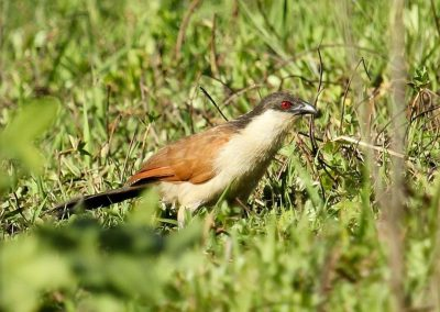 coucal-du-senegal-1080p